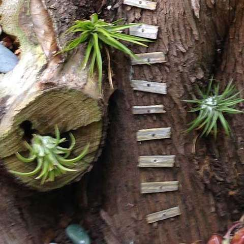 Tillandsia used as if they were epiphytic in a miniature garden