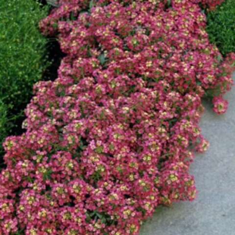 Alyssum Aphrodite Red, almost red clusters of blooms