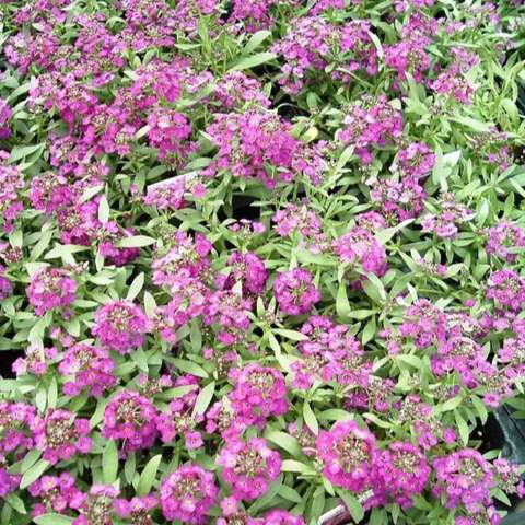 Sweet Alyssum, purple, lots of small red-violet flowers