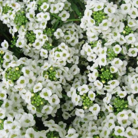 White alyssum close up, showing tiny white flowers