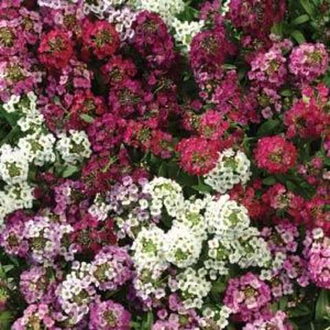 Alyssum 'Easter Basket Mix', white, pink, purple flowers