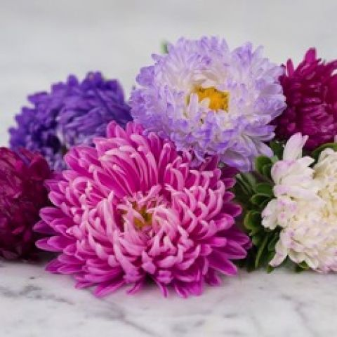 Calistephus Giant Perfection Mix, double mum-like flowers in pinks and purples