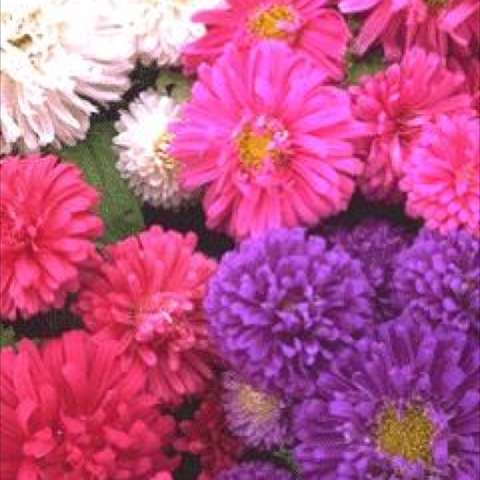 Mix of aster colors, pink, white, purple red