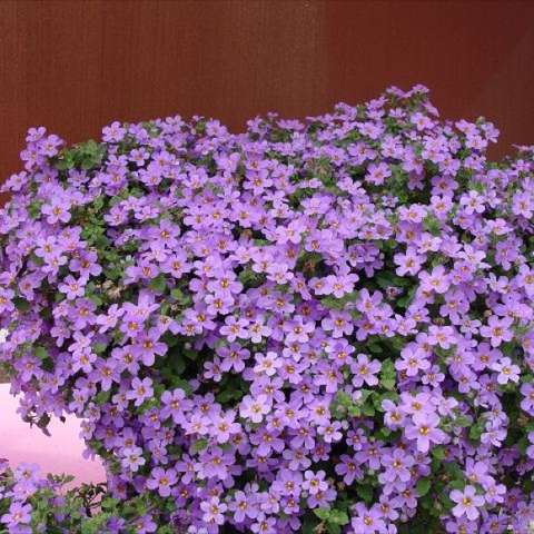 Bacopa Blue, light violet small flowers