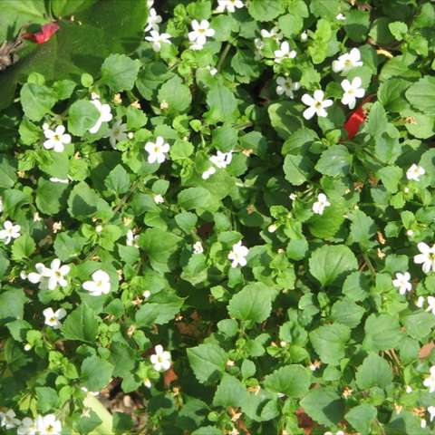 White bacopa, tiny white flowers and green leaves