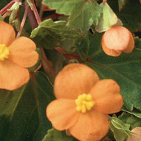 Begonia sutherlandii, close up of creamsicle-orange 4-petaled flowers