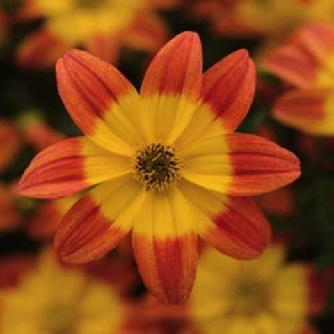 Bidens Bee Alive, small-centered daisy with petals in copper and gold