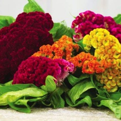 Cockscomb Dwarf Coral Mix, reds, oranges, yellow rippled flower heads