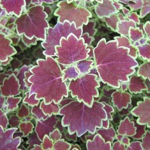 Coleus Trailing Monarch, duck-foot dark red leaves with green edges