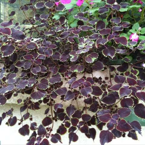 Coleus 'Trailing Queen', dark red leaves with light green frilly edges