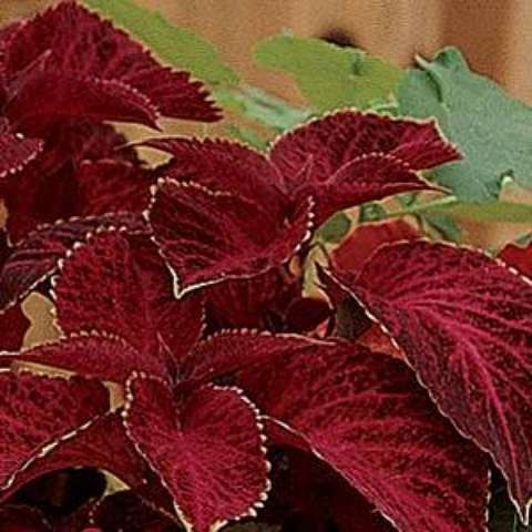 Coleus Wizard Velvet Red, dark red leaes with light edges
