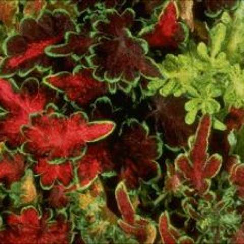 Coleus 'Carefree Mix', range of lime green to red leaves