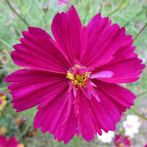 Cosmos Double Click Cranberries, somewhat double dark pink