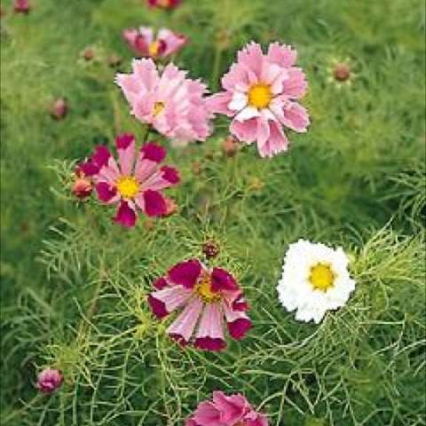 Cosmos 'Sea Shells Mix', pink to dark magenta with some white