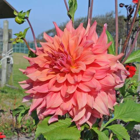 Dahlia Ace Summer Sunset, pink-peach double decorative