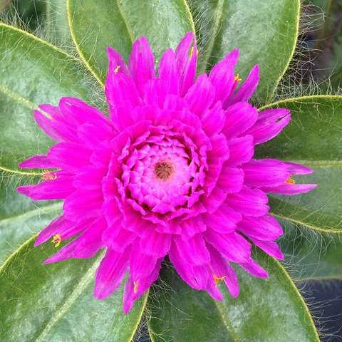 Pink Zazzle Gomphrena, hot pink flower, hairy leaves