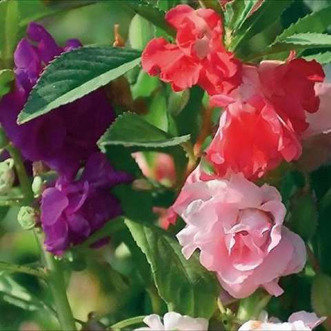 Balsam Impatiens, mix of pink red and purple