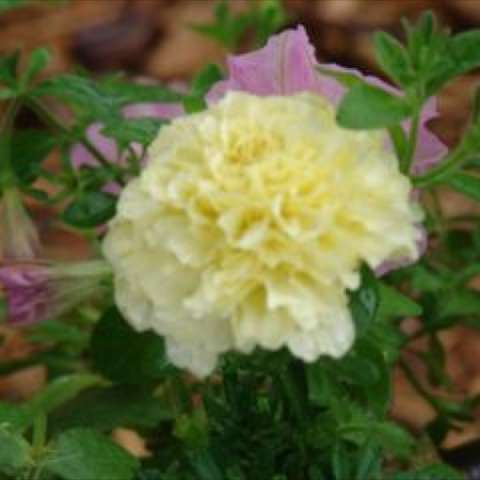 Marigold 'Vanilla', double whitish-yellow marigold