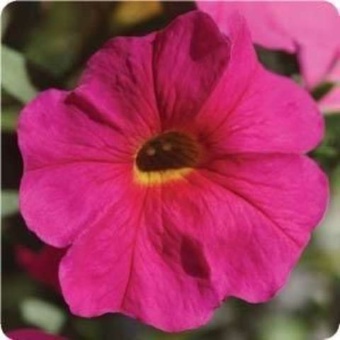 Petunia SuperCal Neon Rose