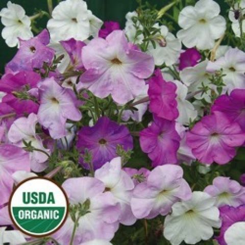 Vining petunias, colors ranging from white to pink to violet
