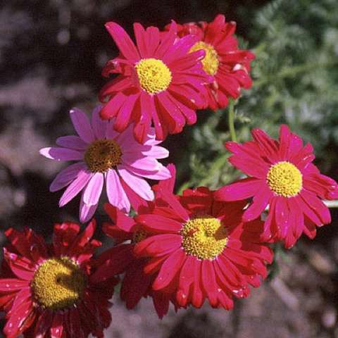 Tanacetum James Kelwya, dark red daisies with yellow centers