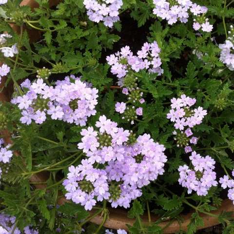 Verbena Aztec Silver, light lavender clustered flowers, dark green leaves
