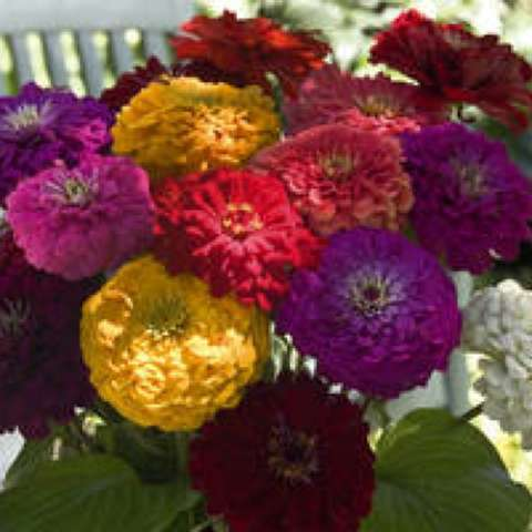 Zinnia 'Benary's Giant Mix', doubles in a range of colors
