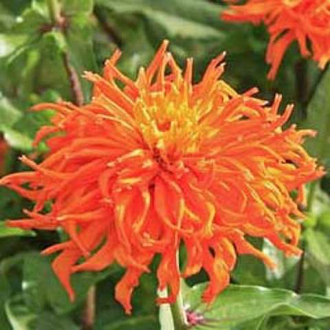 Zinnia 'Inca', amazing orange with pointed petals