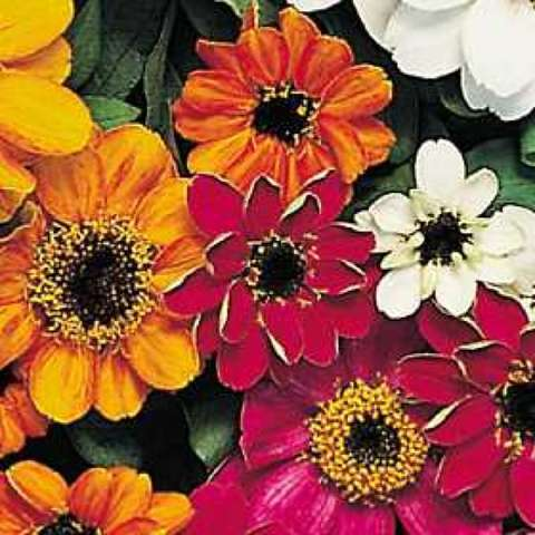 Zinnia 'Profusion Mix', brightly colored single zinnias