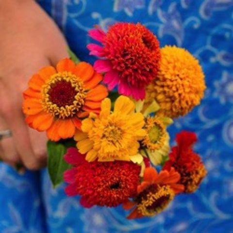 Zinnia Scabiosa Mix, small flowers with large centers in bright colors