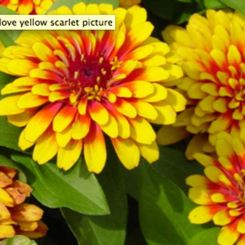 Zinnia 'Sizzle Scarlet-Yellow', yellow with red center petals