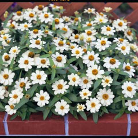 Zinnia 'Profusion White', singles with white petals and yellow centers