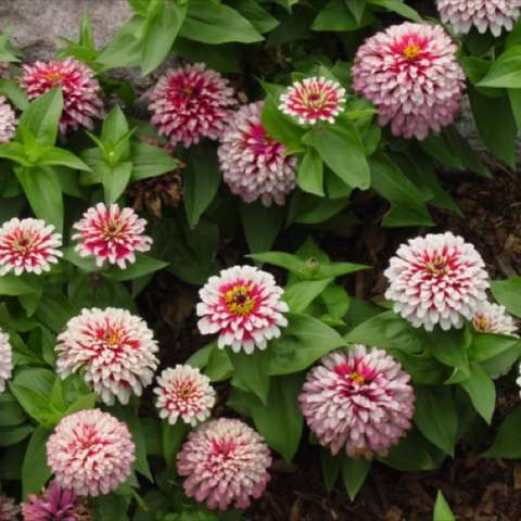 Zinnia 'Swizzle Cherry-Ivory', bicolor pink to ivory doubles