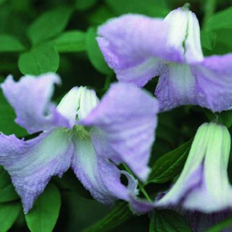 Clematis Betty Corning, lavender-pink, down-facing, four petals, recurved