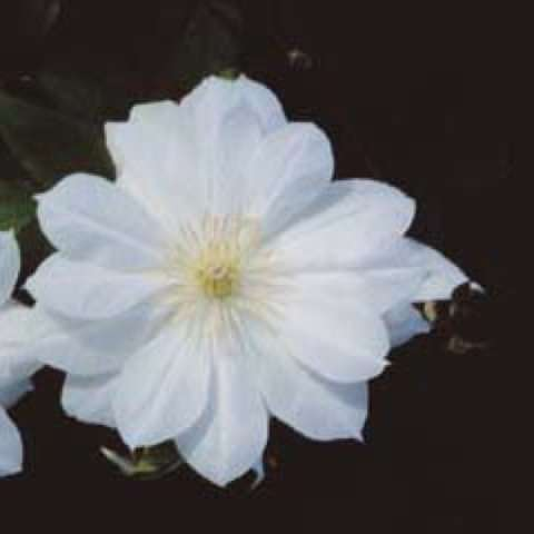 Clematis Duches of Edinburgh, white semi-double