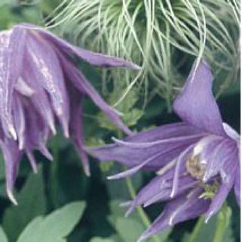 Clematis Lagoon, blue pointed petals, grassy seed heads