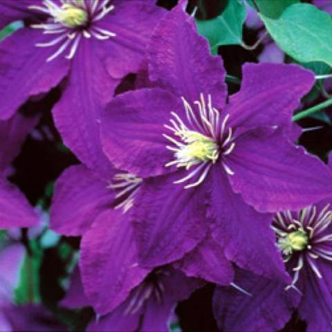 Clematis 'Rhapsody', strong purple singles, yellow anthers