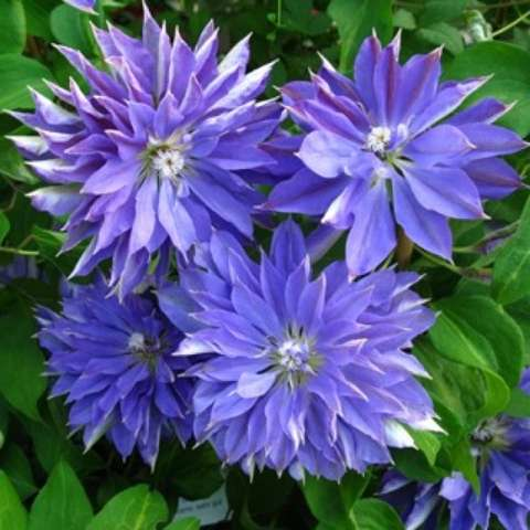 Clematis Teshio, very double blue-purple