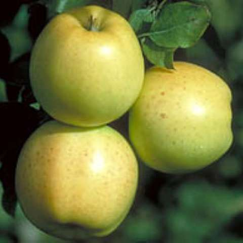 Honeygold apples -- yellow green with a pink blush