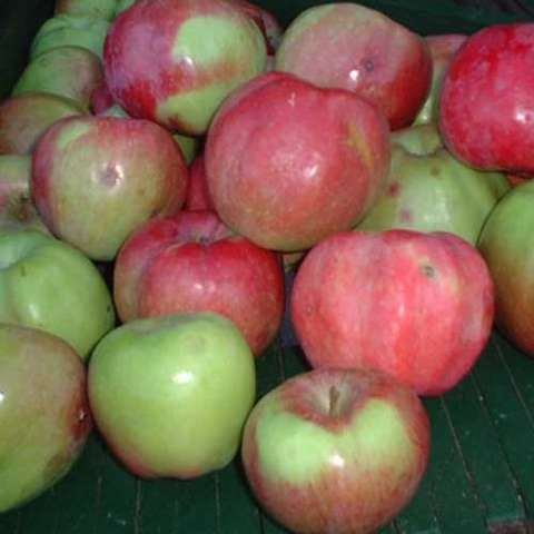 Malus domestica Northern Spy, red and green apples