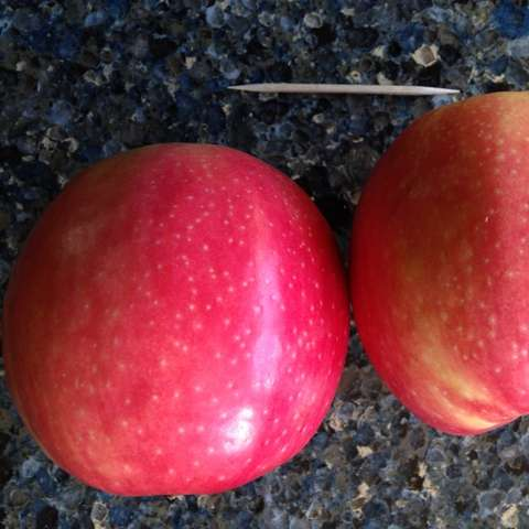 Pink Lady apple, large red