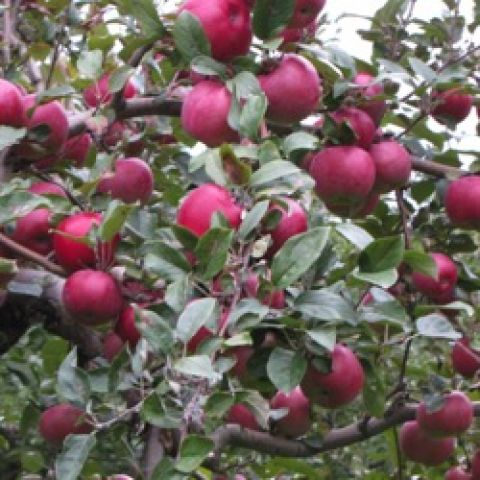 Red Spy apples growing on a tree