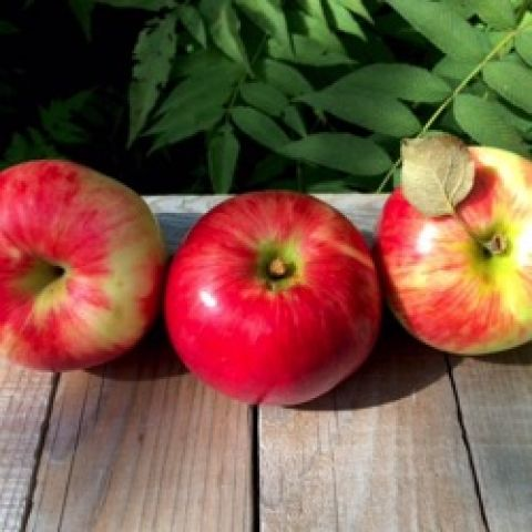 State Fair apple, red-cheeked apples with some light green