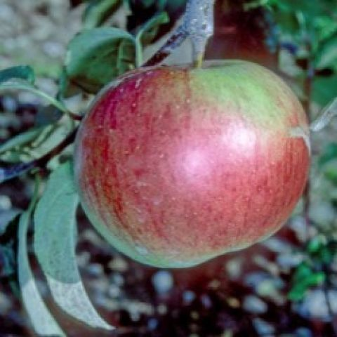 Wealthy apple on the tree, red skin