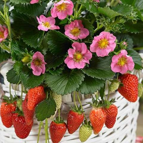 Gasana strawberry, light pink flowers and red fruit