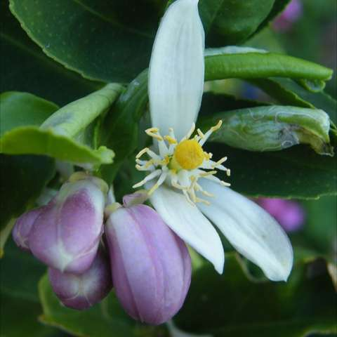 Lemon flower, white with pinkish buds