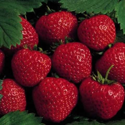 Strawberry 'Honeoye', red strawberries