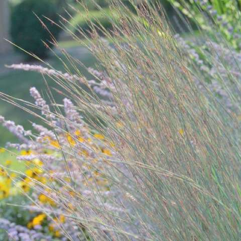 Little Bluestem 'Blue Heaven'