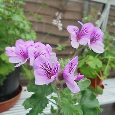 Pelargonium Torento, green leaves and pink to purple blossoms
