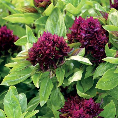 Basil 'Cardinal', green leaves and red bracts like dark red flower clusters